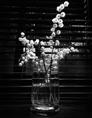 Lilly of the Valley (silenceofthelambert) Tags: flowers cup water kitchen glass leaf spring stem petal blinds curtains lilyofthevalley