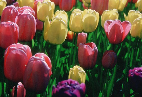 Tulips blooming in Kodachrome