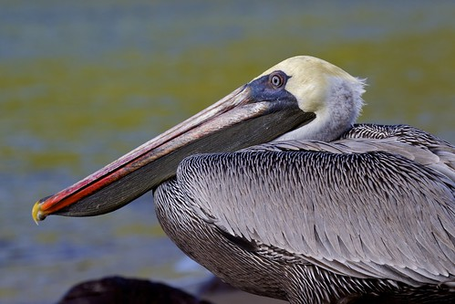 Brown Pelican (Pelecanus occidentalis) Study: Head Profile