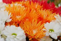 orange-white-red | pomaraczowy-biay- czerwony (Anna Ostrowska) Tags: flower nikon colorful poland polska krakw cracow polonia cracovia ostrowska nikond80 tamron90mm28macro11 annaostrowska