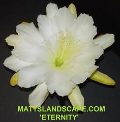 Epiphyllum CV 'ETERNITY'