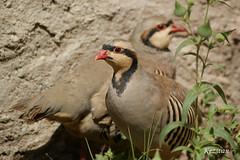 Chukar Partridge (kezwan) Tags: kew partridge kurdistan kurd chukar kezwan
