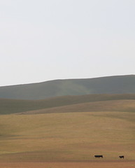 heading to the barn (tasawa69) Tags: california landscape cows hills centralvalley