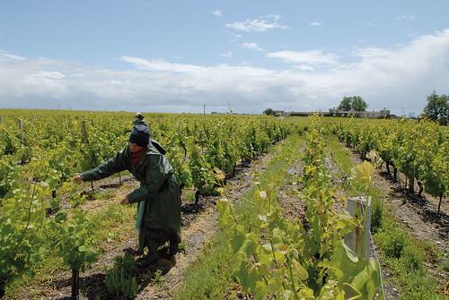 Relevage de la vigne dans le vignoble de Sauternes - Graves et Sauternes - Aquitaine