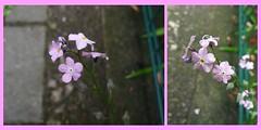 Myosotis (judith74) Tags: flowers collage pflanzen rosa blumen forgetmenot brandenburg vergissmeinnicht myosotis boraginaceae ohv raublattgewächs picturecollagemaker