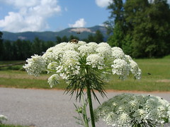 Queen Anne's lace, serving as landing platform, with Table Rock in background (Martin LaBar) Tags: flowers sky white flower beautiful clouds insect southcarolina insects landing lovely encantadora takingoff hermosa queenanneslace daucus apiaceae wildcarrot pickenscounty supershot