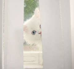 Peek-a-boo....I see you~~ 151/365 (~ Amy) Tags: white cute cat persian kitten blueeyes kitty fluffy windowsill playful behindthecurtain