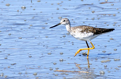 Lesser Yellowlegs Sandpiper 6 (edearmitt) Tags: bird nature animal animals photographer sony wetlands delaware alpha waterfowl bombayhook animaladdiction animaladdictionicon llovemypic naturesbeautiesflowersplantstreeslandscapesgardens