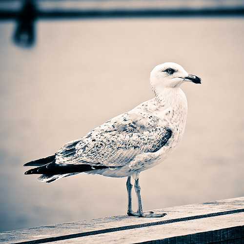Day 128 - Sepia Seagull