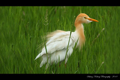 CATTLE EGRET (Bubulcus ibis) (suhaaz Kechery) Tags: india cattle waterbird kerala ibis egret cattleegret bubulcusibis bubulcus canon450d kechery suhaaz sigma150500apodgos kolland
