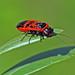 Genetzte Gespinstblattwespe Caenolyda reticulata 100605 005