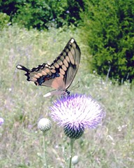 tiger swallowtail on thistle, near Highland Park, on Lake Lavon