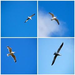 Freedom of Expression (antonychammond) Tags: blue sky seagulls birds flight soe potofgold abigfave platinumphoto skytheme citrit amiamoci thewonderfulworldofbirds newphotodistillery