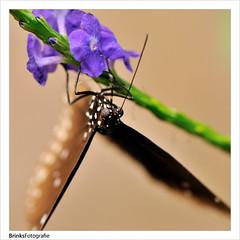 Vlinder (BrinksFotografie) Tags: plant macro nikon micro nikkor f28 vr afs emmen vlinder kas bloem dierentuin dierenpark d300 105mm vlindertuin ondersteboven