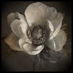 Portrait (Y.H.P) Tags: flowers brown flower art 花 memoriesbook imageourtime arttex