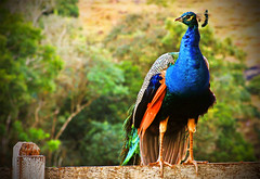 (Luiza  Reis !) Tags: minasgerais bird nature water luiza waterfall farm natureza reis falls mg top20nature cachoeira fazenda pavo mywinners luizareis