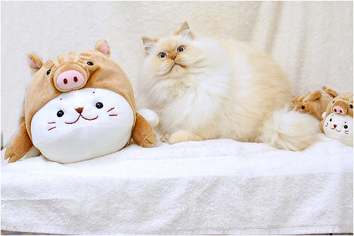 cute fluffy Himalayan cat pic