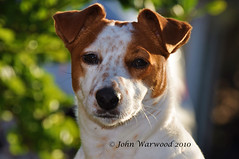 Backlit Belle (JRT ) Tags: dog sun fur jack nose bush eyes nikon hug jrt russell bokeh sunny ears whiskers terrier jackrussell belle backlit jackrussellterrier d90 brownhead johnwarwood flickrjrt