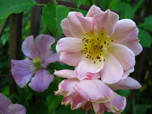 'Felecia' rose? Clematis 'Comtesse de Bouchard'