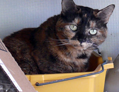 Bucket Kitty (Glenn Harris (Clintriter)) Tags: stella pets cute yellow cat back bucket tortoiseshell porch tortie cc100 kartpostal velvetpaws catnipaddicts vg~catsgallery