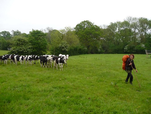 Ayla followed by cows