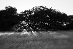 The Dawn Of Dusk (belleshaw) Tags: trees blackandwhite sunlight nature field grass lensbaby bokeh meadow beams santarosaplateau lensbabycomposer