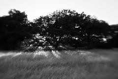 The Dawn Of Dusk (belleshaw) Tags: trees blackandwhite sunlight nature field grass lensbaby bokeh meadow beams santarosaplateau lensbabycomposer