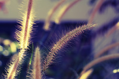 264 - Feather Grass