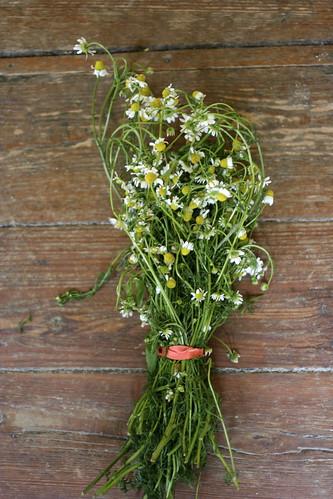 fresh chamomile