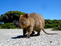 Rottnest Island Quokka