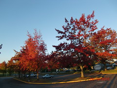 Golden Autumn in Newberg.Oregon.USA.10.29.10 137 (Dr DVD) Tags: autumn usa beautiful leaves by oregon golden dvd with dr newberg drdvd 102910 goldenautumninnewbergoregonusa102910