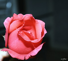 Happy November People :) (Sajina Gurung) Tags: pink rose dew gurung sajina