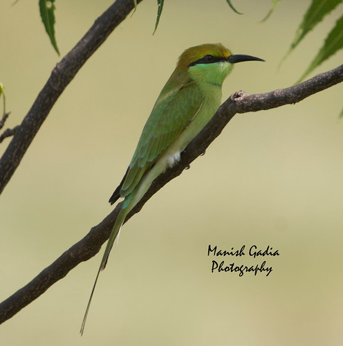Bee Eater in Shadow