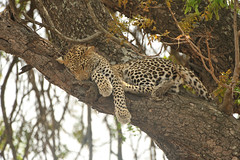 Leopard in Tree - Kruger, South Africa (Ami 211) Tags: southafrica leopard bigcat krugernationalpark kruger panthera felidae pantherapardus pantherinae leopardinatree greaterkruger
