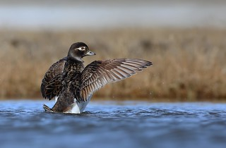 Long Tailed Duck (Hen)
