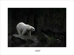 so lonely (Zino2009 (bob van den berg)) Tags: zoo animal mamal polarbear bear gigant huge heavy lonely contrast white rocks ouwehand walk dive swim water bassin sad wigling holland netherlands nature color dark waterlevel zino2009 sergio