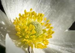 Sun Salutation (LC27LadyB) Tags: flower white yellow macro stamen anthers petal sunsalutation