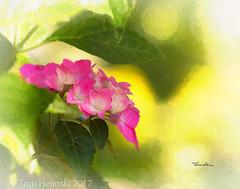 Pink French Hydrangea (tomh2m) Tags: hydrangea pink frenchhydrangea flower pinkflower