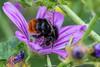 RedTailedBumbleBee-0001.jpg (vorneo) Tags: bumblebee classinsecta kingdomanimalia binomialnamebombuslapidarius redtailedbumblebee orderhymenoptera familyapidae wild phylumarthropoda insect subgenusmelanobombus speciesblapidarius genusbombus