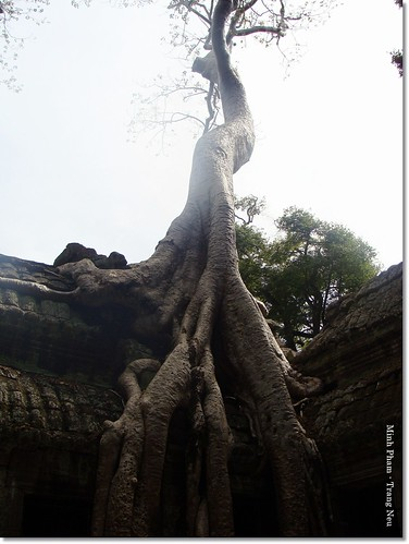 Sralao tree in Ta Prohm