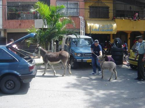 El 24 de diciembre al mediodía, una burra y su cría fueron rescatados por la Policía Ambiental de Medellín. Los cuadrúpedos fueron avistados por Vanesa Uribe, vecina del barrio Calasanz, cuando caminaban por la calle Colombia.