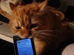 hmmm mobile (deadoll) Tags: family love cat amber ginger furry kat penelope kitty gato penny purr gata babys ambereyes ruiva tigrado peluda gingerhair deadoll gatotigrado clarissarossarola ruivona