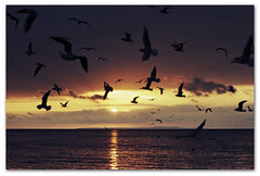 The Birds - Evening Class at the Totland branch of 'Seagull training school' (s0ulsurfing) Tags: ocean autumn light shadow sea sky sun sunlight seagulls seascape bird beach water silhouette bronze dark island gold golden evening bay coast seaside twilight october skies darkness sundown random dusk gull gulls flight wide shoreline shapes silhouettes wideangle coastal shore vectis isleofwight copper thebirds vista coastline ripples rays gliding isle 2009 nube soar wight purbeck meteorology thriller alfredhitchcock nephology suspense glide 10mm totland isleofpurbeck sigma1020 eveningclass totlandbay s0ulsurfing crespucular trainedgulls seagulltrainingschool justaddchips