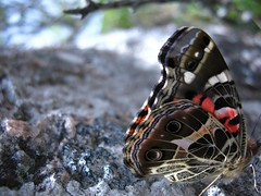 """hermosa"" ( la modelo era algo timida, la foto tiene eso extra) (Gonzalo_Arlt) Tags: naturaleza insectos macro arte fotografia mariposa supermacro beatiful belleza magia timida"