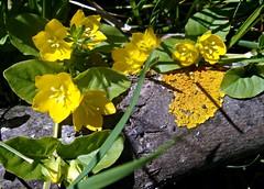 Yellow lichen, yellow flowers (CameliaTWU) Tags: flowers yellow golden evergreen romania stump transylvania groundcover primulaceae lysimachia dicot liche creepingjenny lowgrowing dicotyledons nummularia concordians manastireni rampantplant