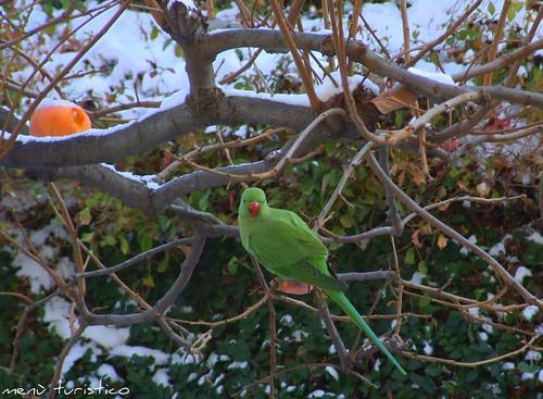 pappagallo sulla neve