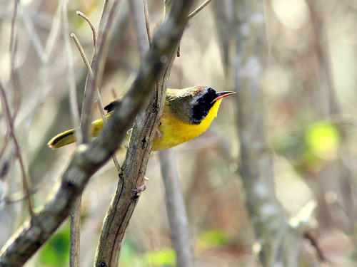 Common Yellowthroat 20100113