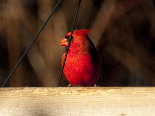 newyears cardinal II