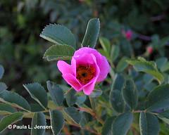Wood's Rose (bigskywild) Tags: pink wild plants mountains macro rose photography montana grand glacier yellowstone greater wildflowers teton botany wildflower ecosystem beartooth bigskywild paulaljensen wildflowersofthegreateryellowstoneecosystem