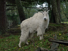 Mountain goat (Oreamnos americanus) (Diamond Brooke) Tags: usa mountain wool america mammal washington high state north rocky beards goat cliffs horn climber cascade elevations undercoat dense americanus billies clime oreamnos surefooted largehoofed
